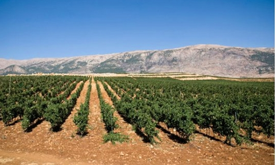 vin vignoble liban